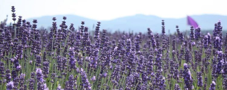 Sequim, Washington, home to much lavender, is about to get bigger.